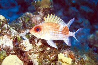 Reef squirrelfish