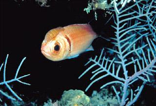 Soldierfish isopod