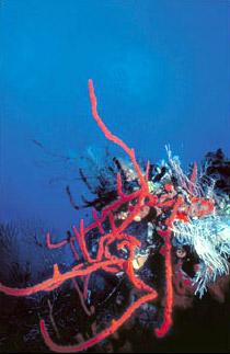 Red rope/finger sponge
