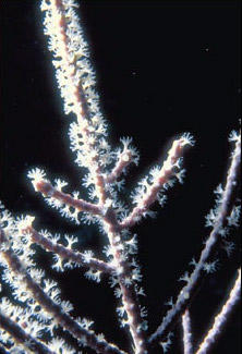 Branching hydroid