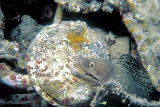 Purplemouth moray